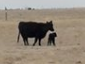 momma and FIRST calf